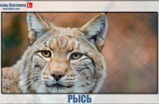 Рысь-лесная кошка