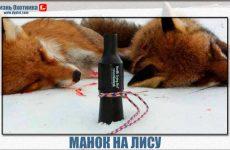 Как пользоваться манком при охоте на лису?