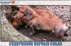 Правила воспитания и содержания норных собак!