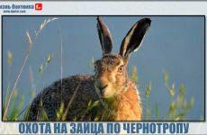 Охота на зайца по чернотропу