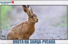 Охота на зайца-русака