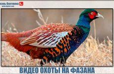 Охота на фазана видео