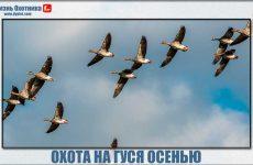 Охота на гуся осенью