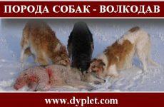 Порода собак — волкодав!