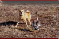 Охота с собаками на гусей