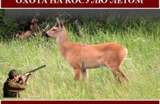 Охота на косулю летом. Виды и способы охоты