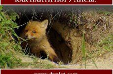 Как найти нору лисы?