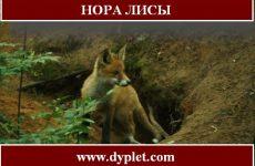 Нора лисы. Всегда ли лиса в ней?