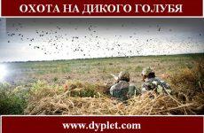 Охота на дикого голубя. Где охотиться?
