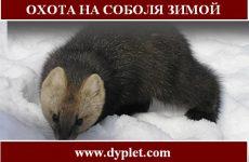 Охота на соболя зимой. Выбираем эффективный способ