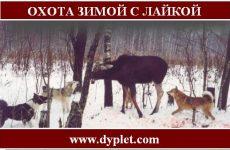 Охота зимой с лайкой. Самые яркие охоты
