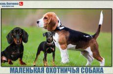 Маленькая охотничья собака. Обзор самых популярных пород