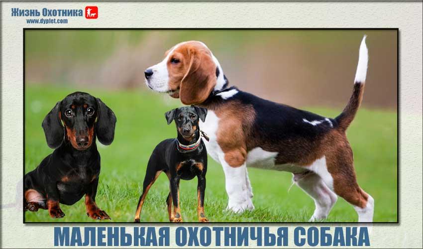 Маленькая охотничья собака