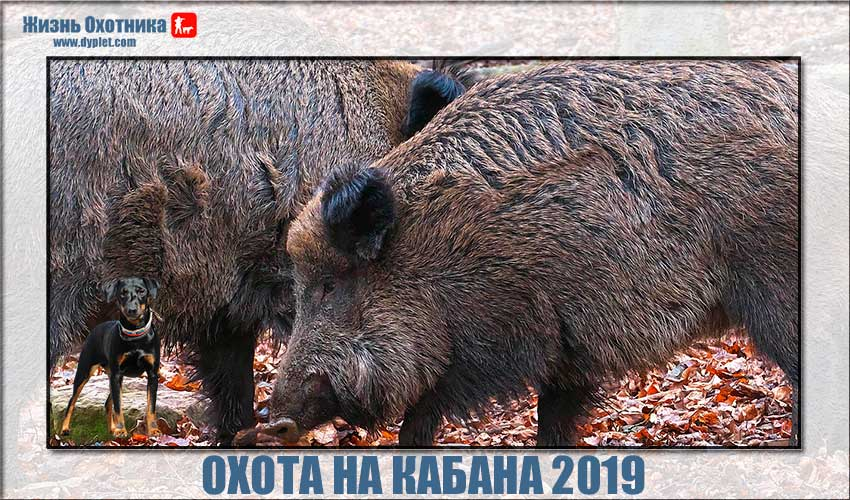 Охота на кабана 2019