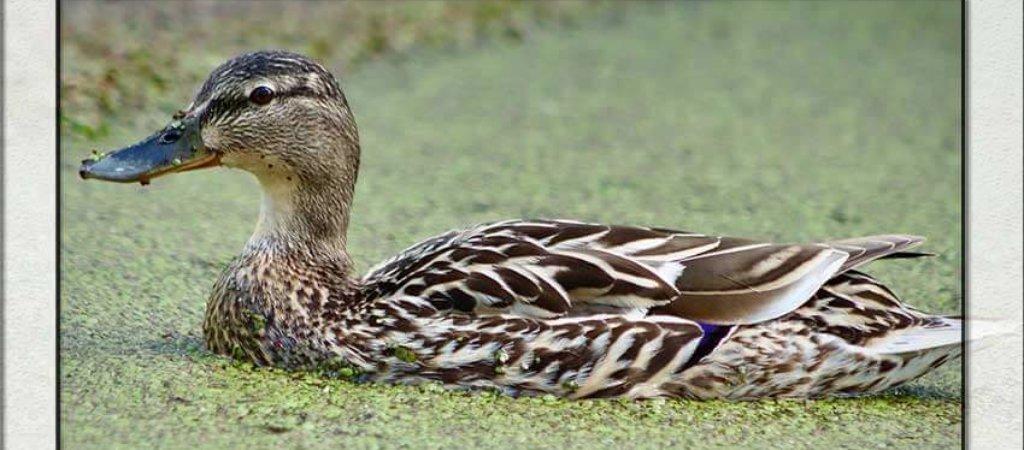 Охота и подсадные утки. Как организовать это с нуля?